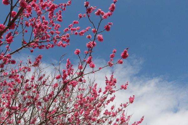 梅が咲き出した.JPG