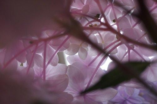 紫陽花の中.JPG